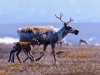 porcupine-river-caribou-and-calf-on-coastal-plain-2002